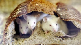 Mice peer out from a loaf of bread