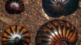 Chirping Millipedes