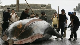 whale hunting in Japan