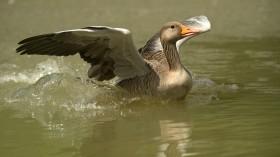 migratory bird