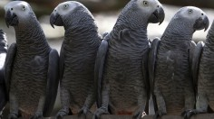 Endangered African grey parrots are kept safe in a cage before being released into Kibale National Park forest by the Uganda Wildlife Authority