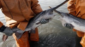 American paddlefish duplicated their own genome some 42 million years ago.