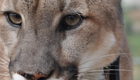 mountain lion with SMART collar