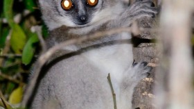 white-footed sporty lemur