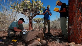 Espanola giant tortoise