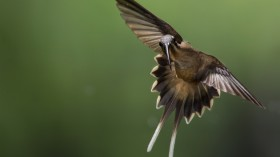 Fencing Hummingbirds Viciously Stab at the Throat
