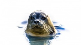 Tags Could Make Fish 'Easy Prey' For Seals