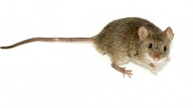 African spiny mouse