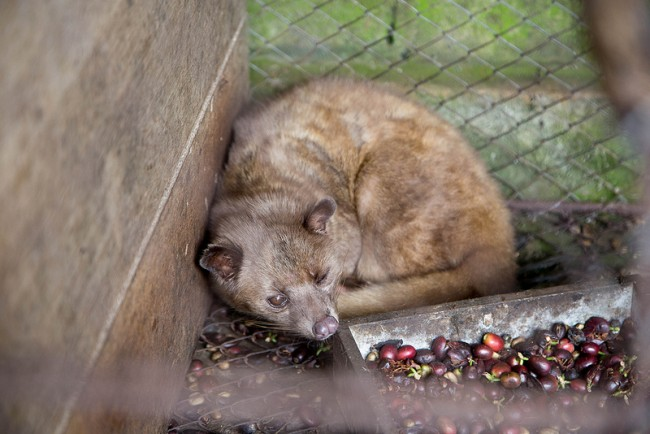 Civet 'Poop' Coffee Retails for $227 a Pound, Researchers ...