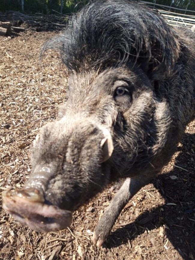 Visayan warty pigs