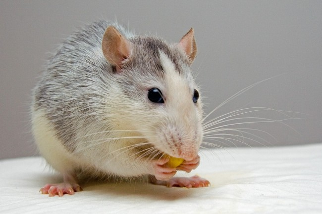 Rats learn to drive; could help mental health treatment