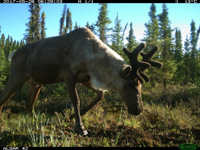 Caribou on a Restored Seismic Line