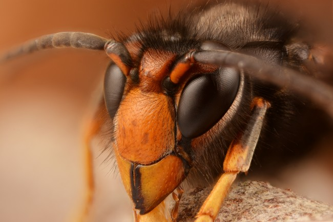 Asian Hornet Warning: Spotted in Hampshire, Dangerous to Bees and Humans