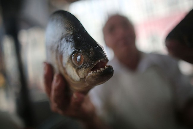 The Only Fish That Can Survive Deadly Piranha Attack