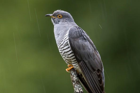 cuckoo-bird.jpg