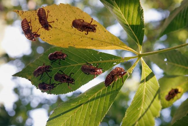 Cicadas Return To Midwest