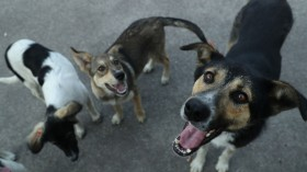 The Stray Dogs Of Chernobyl